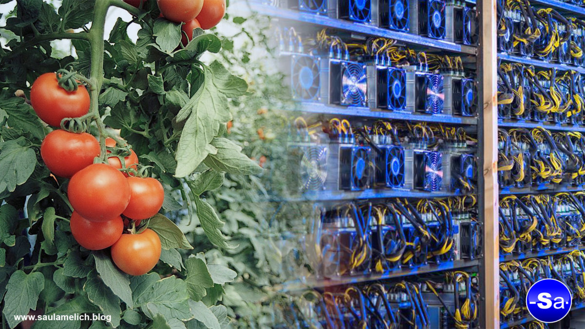 tomates criptocultivados - saul ameliach