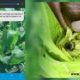 saul ameliach - cultivos de maíz